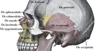 Schaedel-mensch-seitenansicht